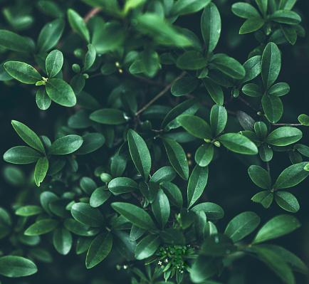Schefflera arboricola background