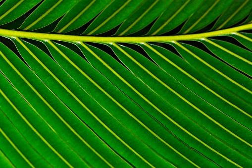 Closed up bright green banana leaf