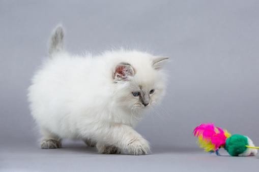 Portrait of a Siberian kitten