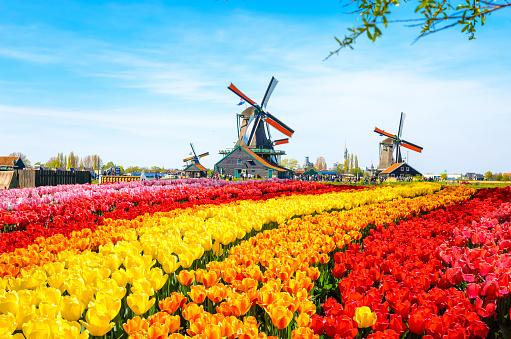 네덜란드 튤립축제