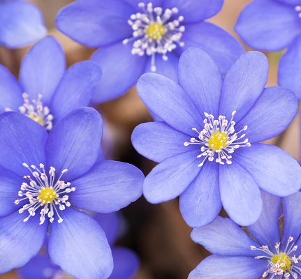 Blue flowers Hepatiсa