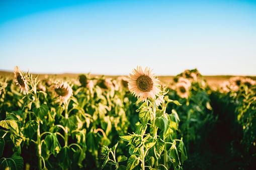 The Beautiful Sunflowers