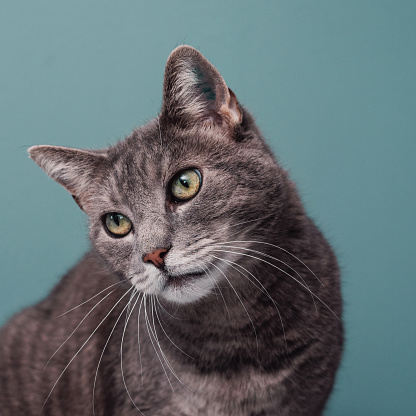 Adorable grey cat against blue