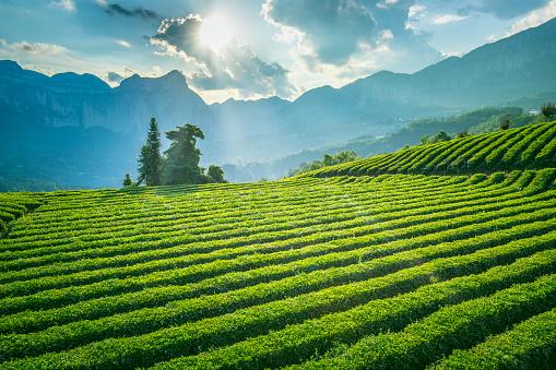푸른 녹차밭