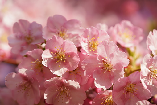 Cherry 'Kawazu-zakura'