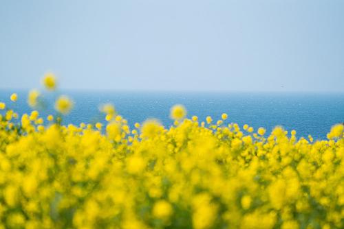 유채꽃 바다