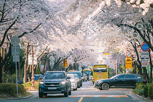 벚꽃 in SEOUL