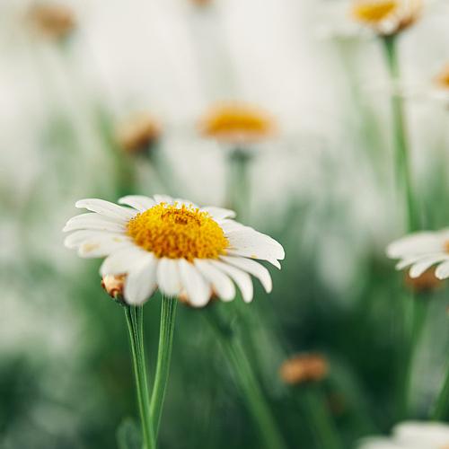 마거리트 (데이지), 꽃, 식물, 봄