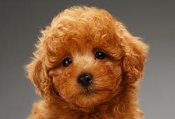 해외사진_Cute brown miniature poodle puppy