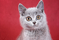 British cat on red background