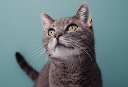 해외사진_Adorable grey cat against blue